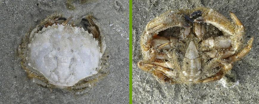 Ovaalronde-krbben