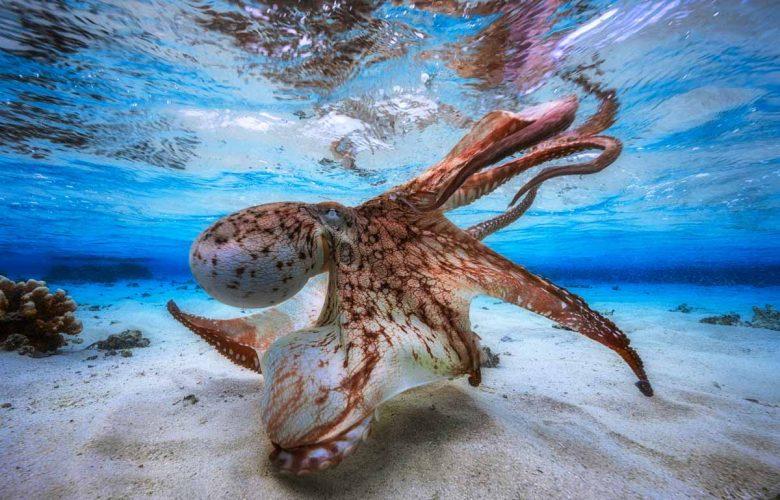 Dansende octopus wint Underwater Photographer of the Year 2017