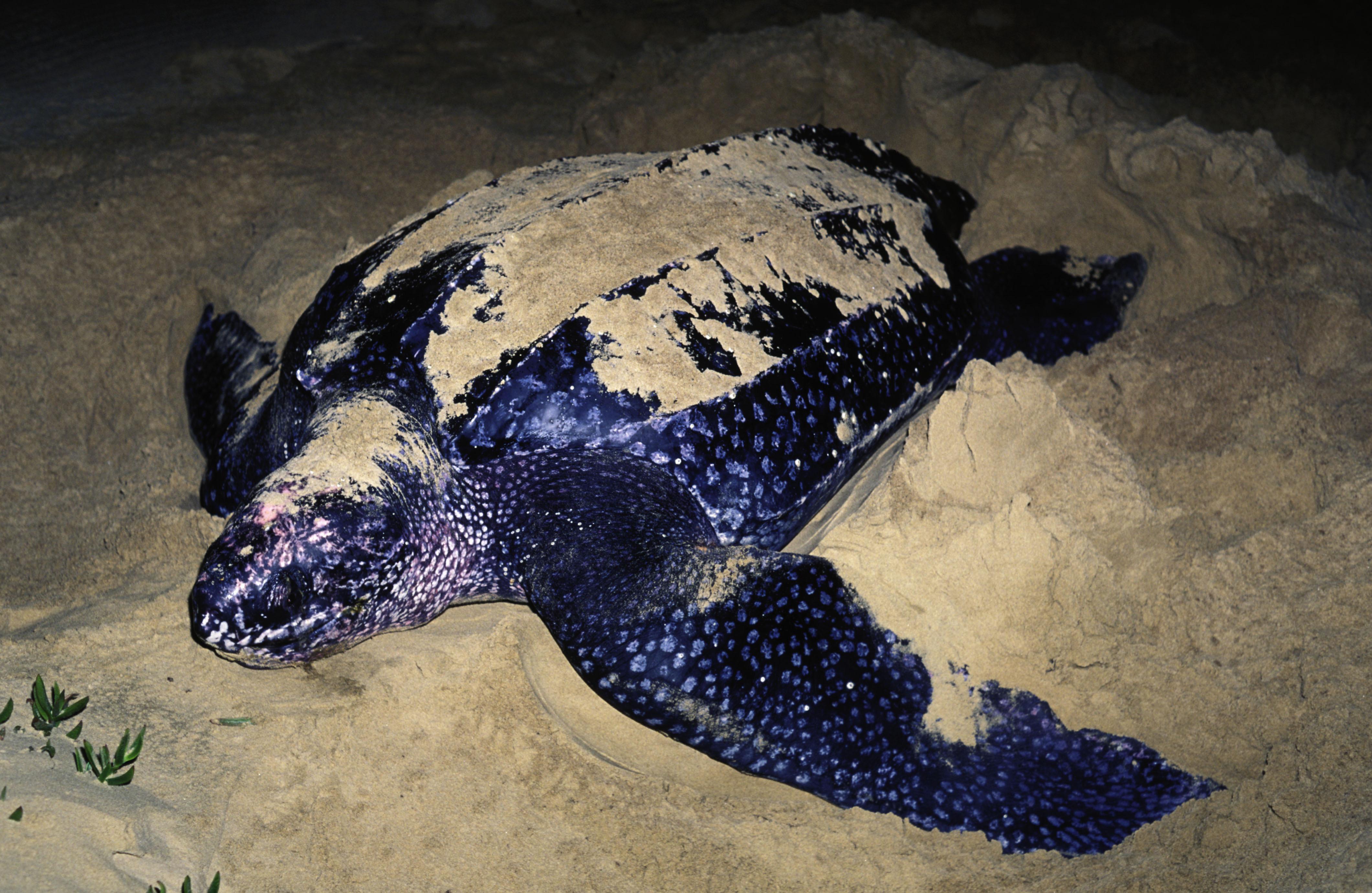 Leatherback turtle Dermochelys coriacea Laying eggs on the beach Worldwide