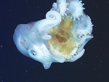Haliphron atlanticus_zevenarmige-octopus met kwal