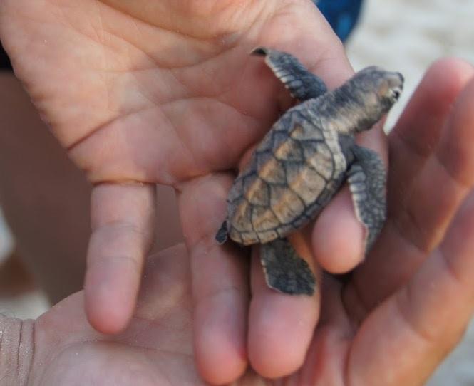 zeeschildpad_barbados