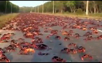 Krabben nemen Varkensbaai over