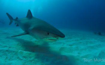 Teun Mulder - Niks met haaien? Schrap Tiger Beach!