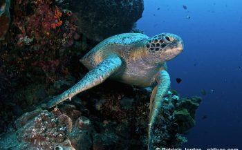 Boeddhistische tempel redt zeeschildpadden