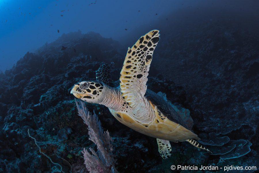 Hawksbill Turtle, zeeschildpad, Manado