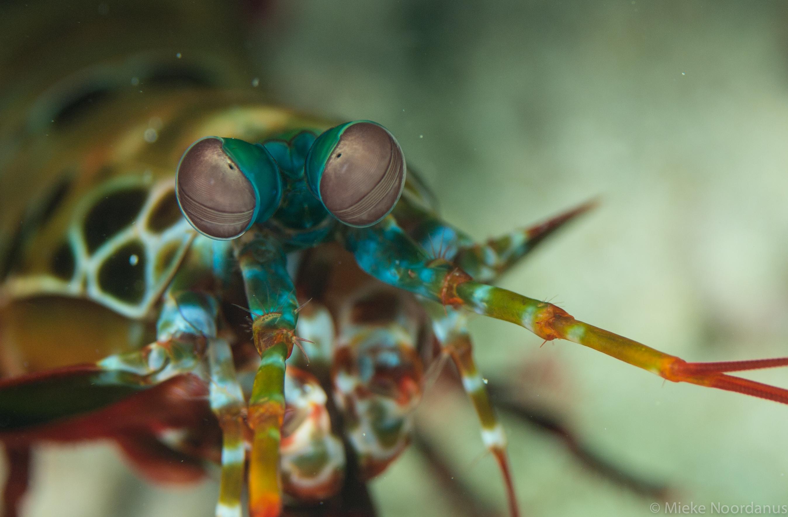 mieke-noordanus_peacockmantis_shrimp-52596