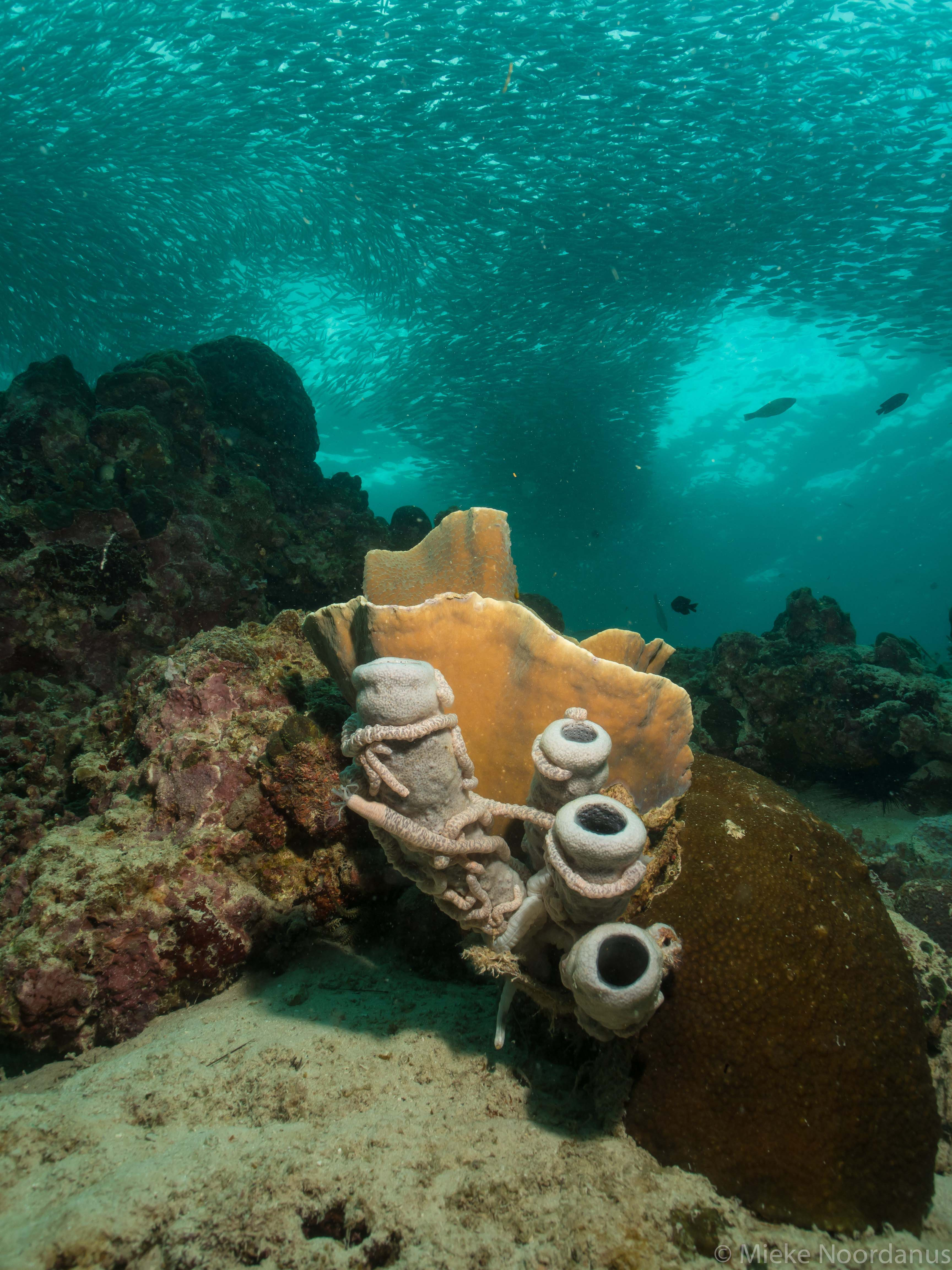 mieke-noordanus_sardinesrus_koraal-52596