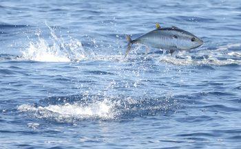Taggen blauwvintonijnen in Noordzee gestart