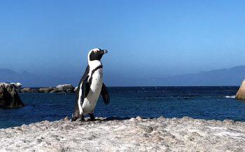 Pinguïns werken samen bij jacht op vissen