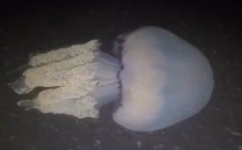 Harry Brummelhuis - Zeepaddenstoelen in de Grevelingen