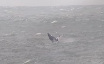 Bultrug zwemt vrolijk rond bij Maasvlakte