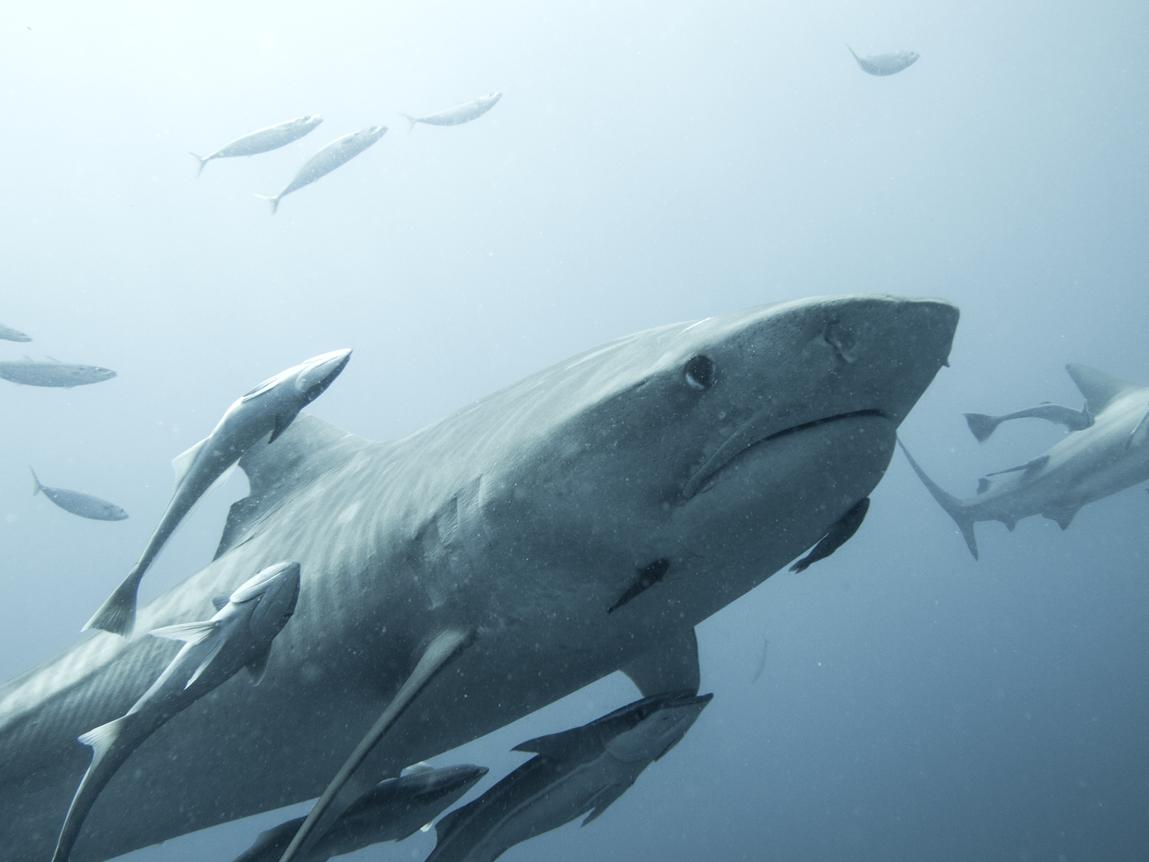 Tijgerhaai, Guido Leurs/Save Our Sharks