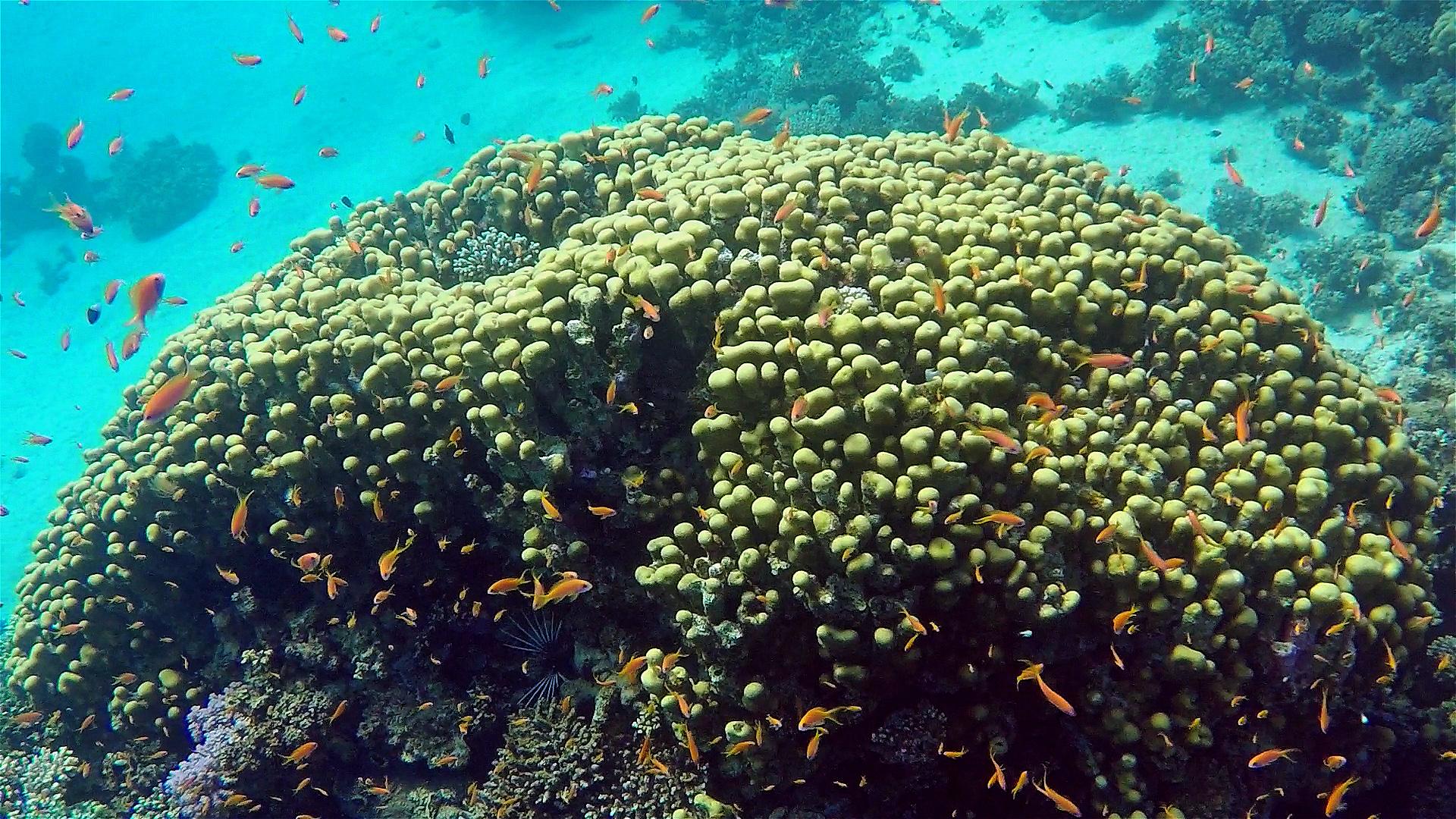 Dirk-Van-den-Bergh_20171207_koraal-porites-nodifera-60069