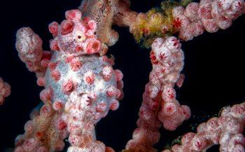 Wat is een pygmee-zeepaardje?