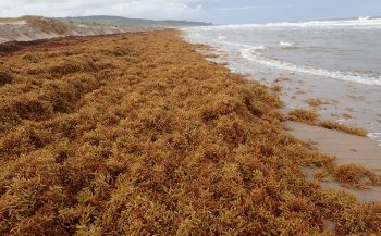 Wat is sargassum?