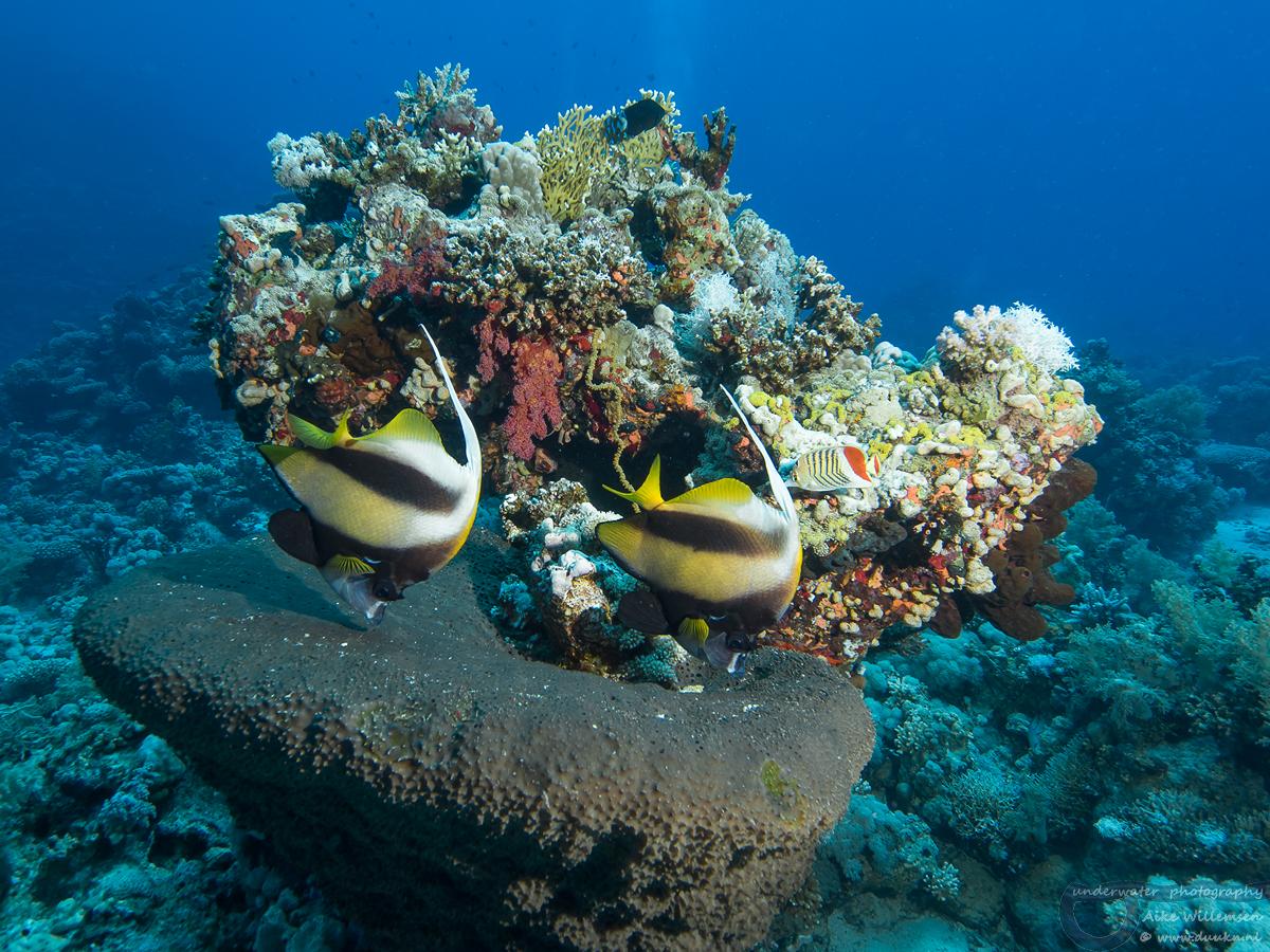 Zeewimpelvisl.AikeWillemsen.mei18.Hurghada-67148