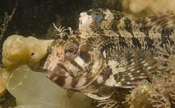 Gehoornde slijmvis meest opvallende slachtoffer van afgelopen winter