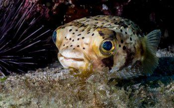 Waarom blaast een kogelvis zich op?