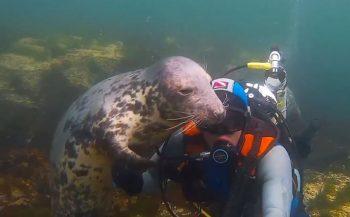 Zeehond omhelst duiker