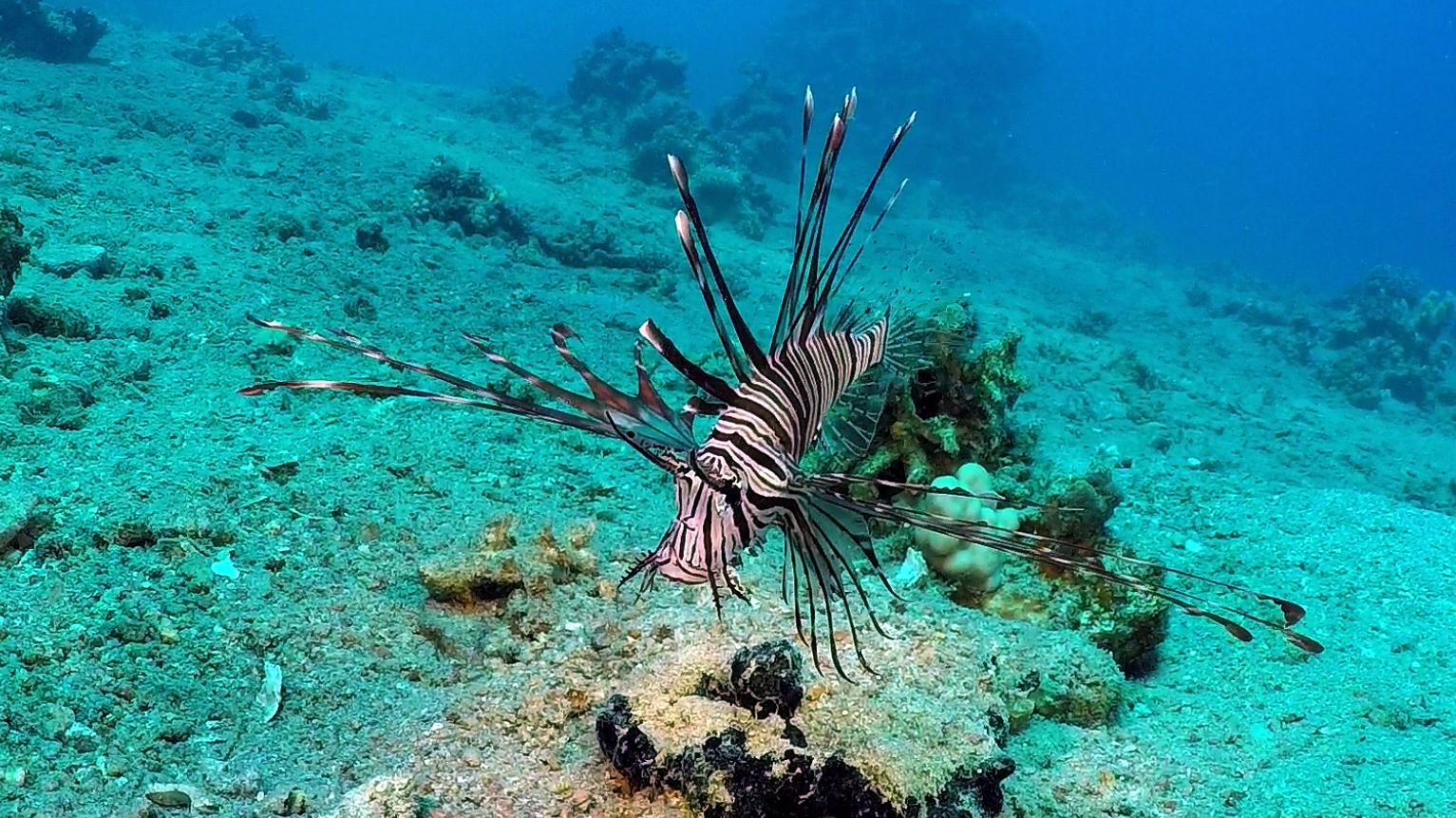Dirk-Van-den-Bergh_Indische-koraalduivel-74196
