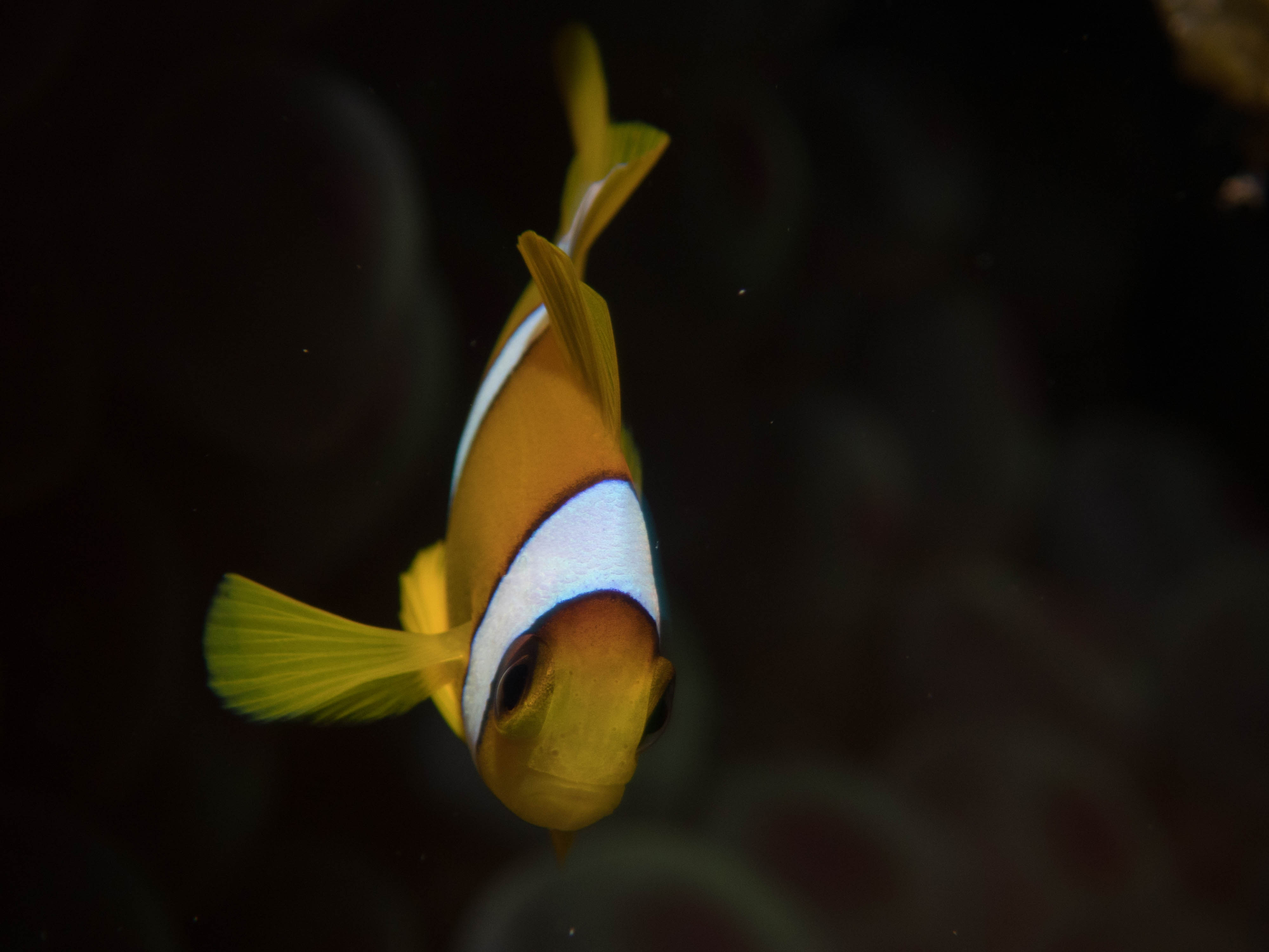 PaulinedBvS-Dahab-anemoonvis-74561