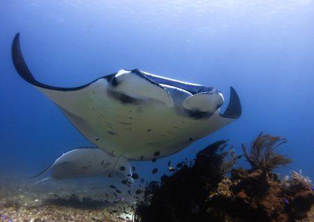 Dive-and-Travel_manta_Komodo
