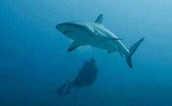 Word Dive Buddy van Save Our Sharks op Duikvaker!