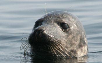 Kan een zeehond in het water slapen?