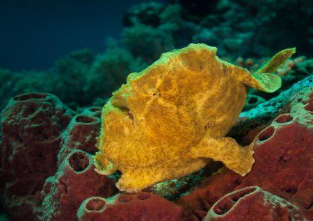 Hengelaarsvis Noord-Sulawesi