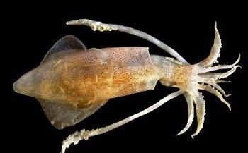 Wat eet een pijlinktvis?