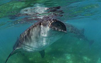 Liefde voor walvishaaien - Het verhaal achter de foto