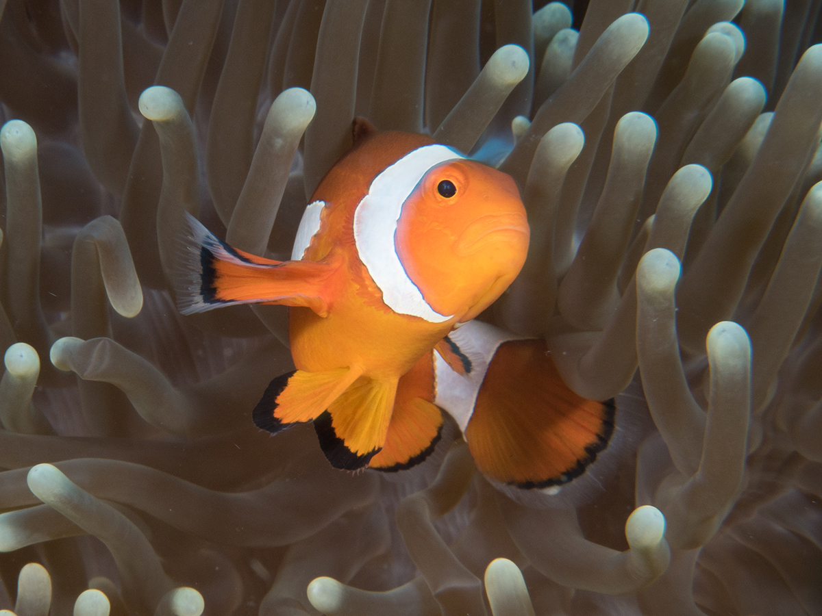 AnjaBlonk_Clownsfish1-84145