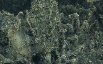 Grootschalige sterfte van zeedieren in Grevelingenmeer