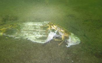 Harry Brummelhuis - Krabben ruimen dode vis op