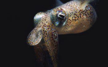 Sepiola atlantica - Het verhaal achter de foto