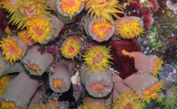 Invasieve koraalsoort is toch een oude bekende!