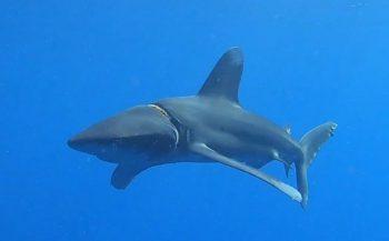 Haai bevrijd van octopushouder