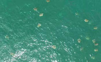 In beeld: Vele duizenden schildpadden bij Costa Rica