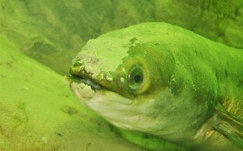 Berthold Raadsen - Een meter paling