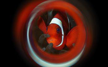 Kijkje onder water - Clownvissen