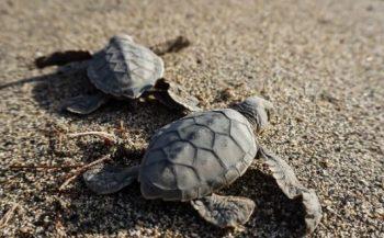 Lege stranden, meer zeeschildpadjes