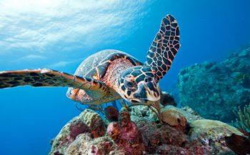 Aantallen schildpadden aan westkust Bonaire stabiel