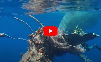In beeld - Duikers bevrijden potvis