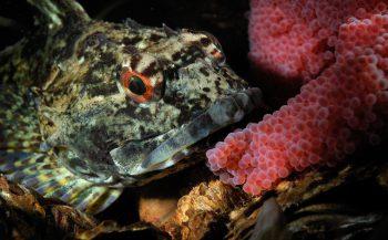 Thema - Zeedonderpadden