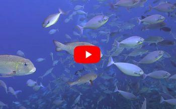 Joeri De Paepe - Raja Ampat: duiken in het paradijs