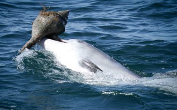 Dolfijnen leren elkaar trucje