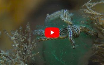 Verhaaltjes uit de Noordzee - Gestippelde dieseltreinworm legt eitjes