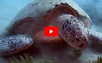 Arnold Mitgenberg - Grote schildpadden in Abu Dabab