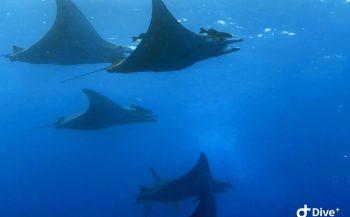 Lucas van Rijen - Duiken met mobula's en haaien op Pico
