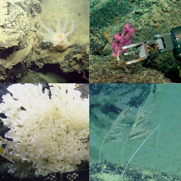 OceanExplorationTrust_ontdekking-Galapagos